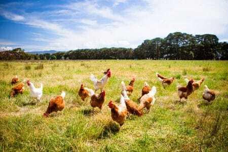 Landwirtschaft Hühner