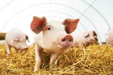 Schweine, Tierwohl